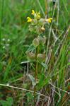 Grnlandsk Skjaller (Rhinanthus minor ssp. groenlandicus)